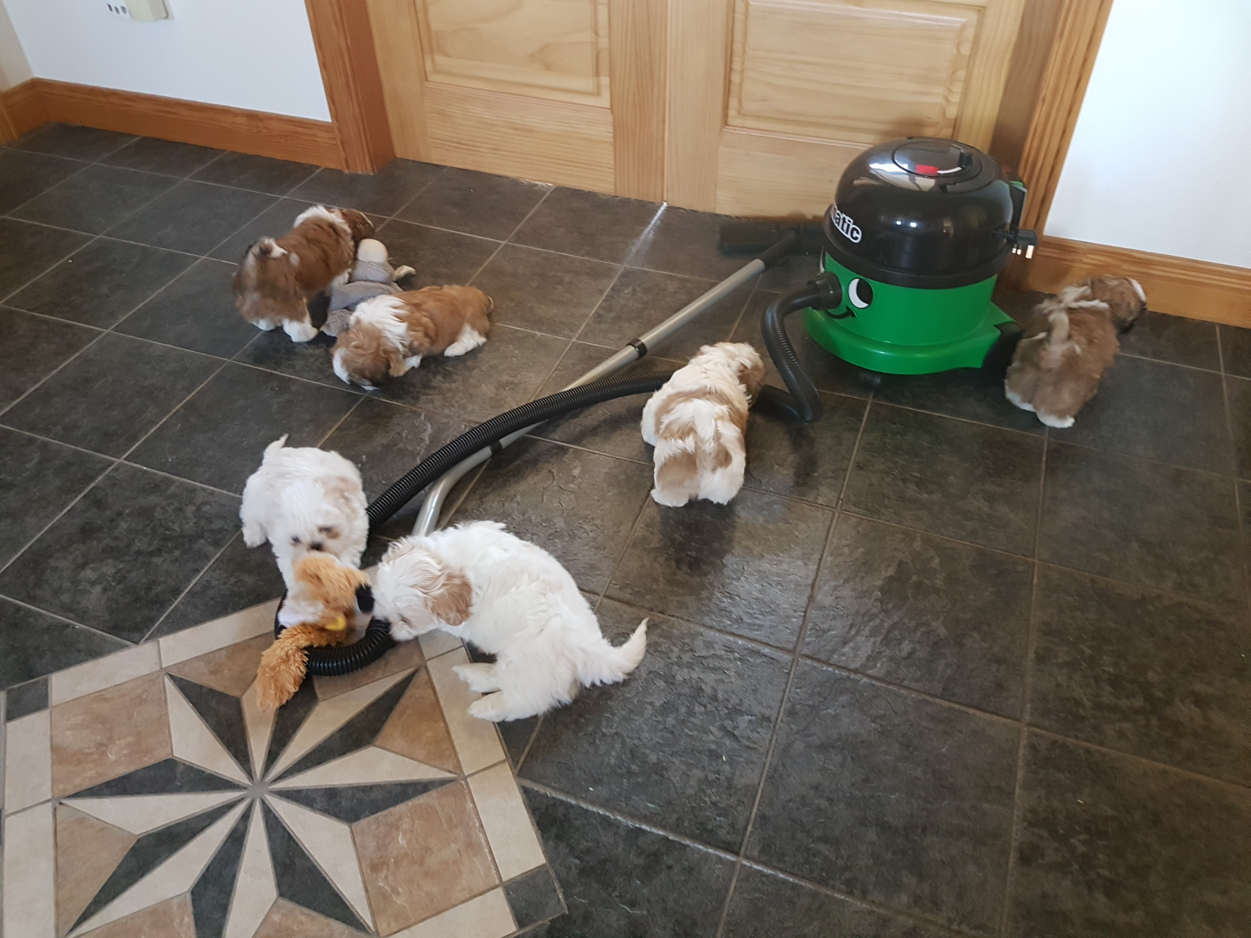 Shih Tzu Pups Small Type Mini  - Dogs For Sale in Northern Ireland
