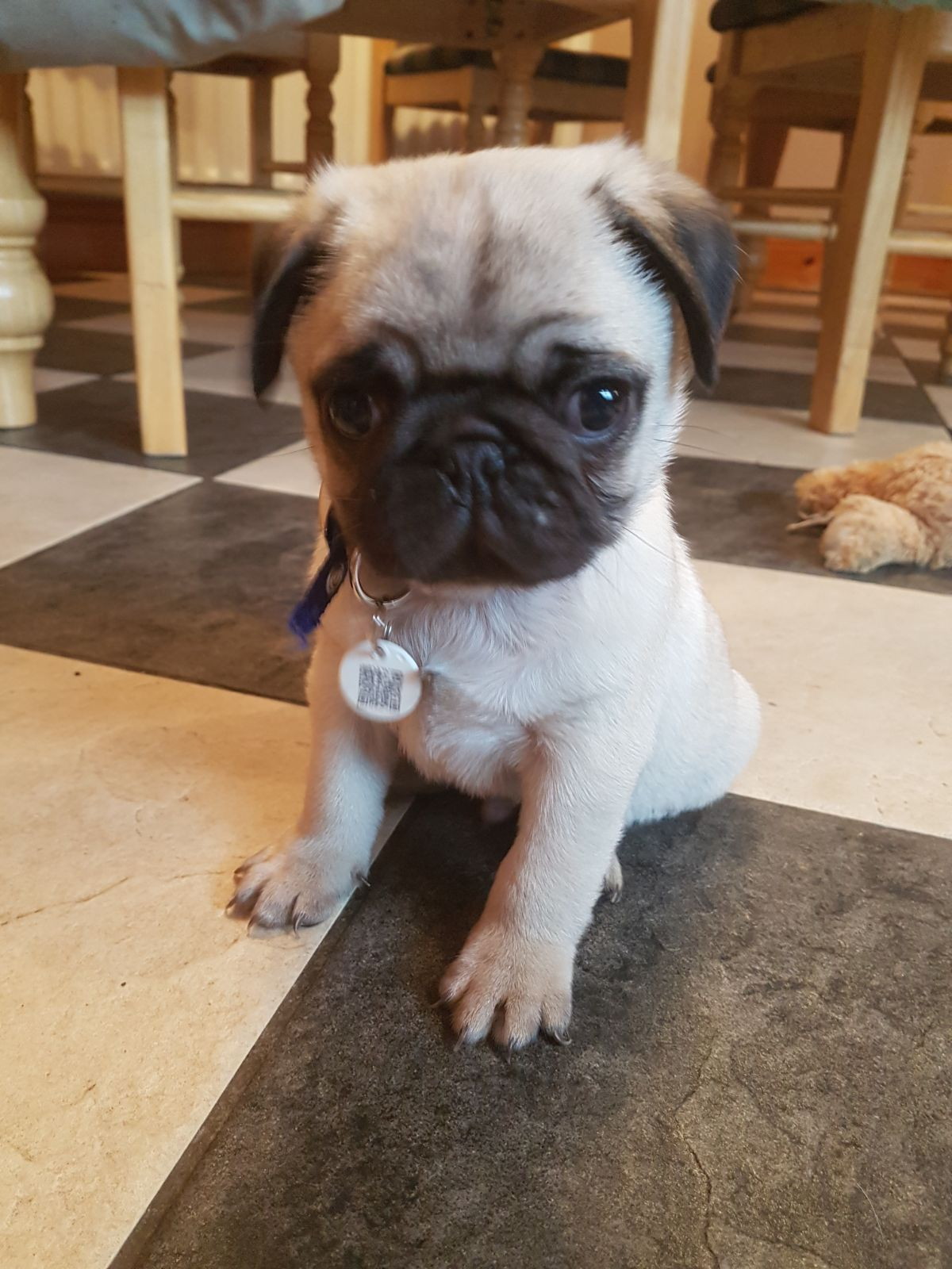 KC Registered Pug Puppies - Dogs For Sale in Newtownhamiltion,Newry
