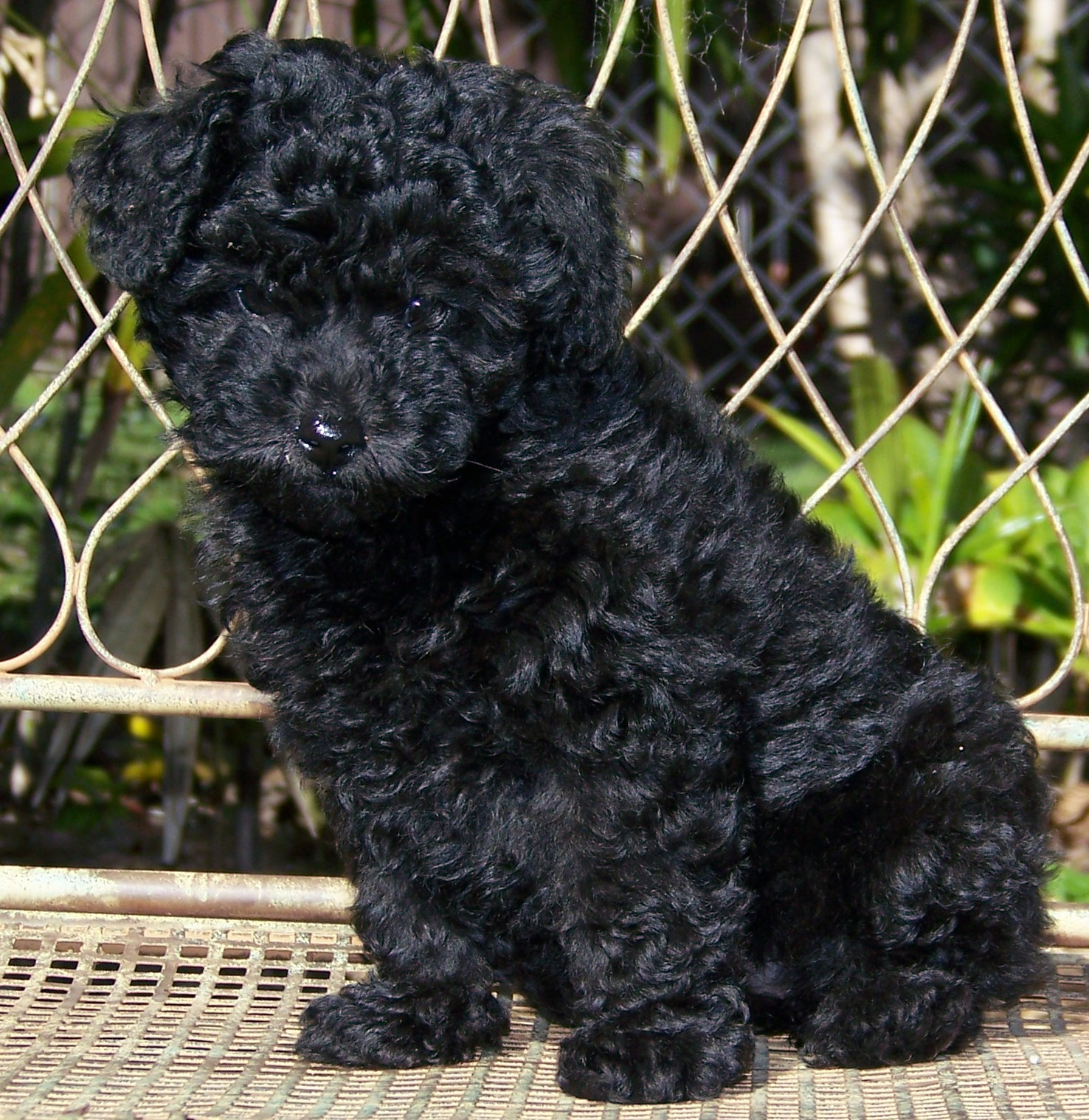 Toy Poodle Pups - Dogs For Sale in ballymena
