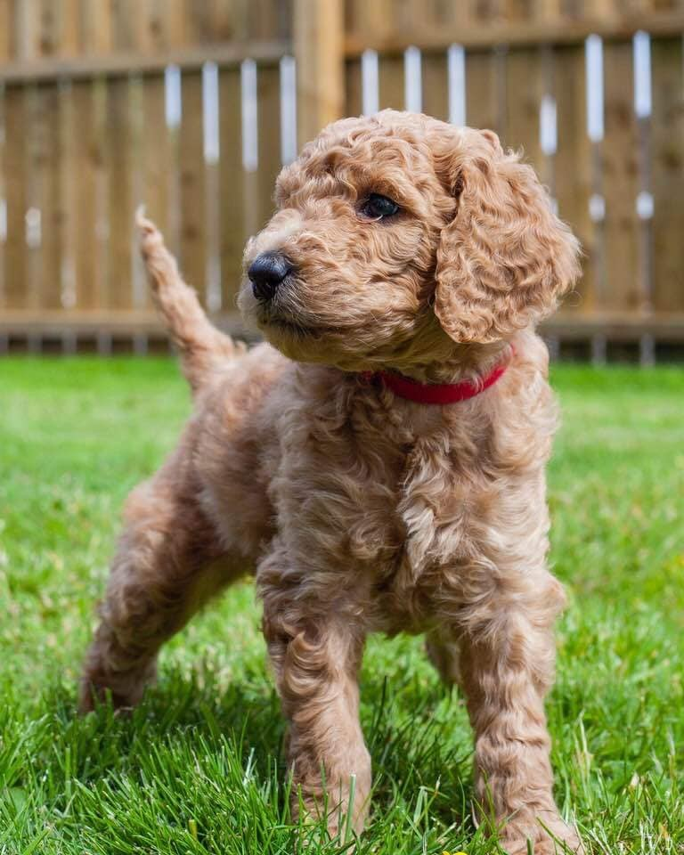 Standard Poodle Puppies - Dogs For Sale in Ballymoney