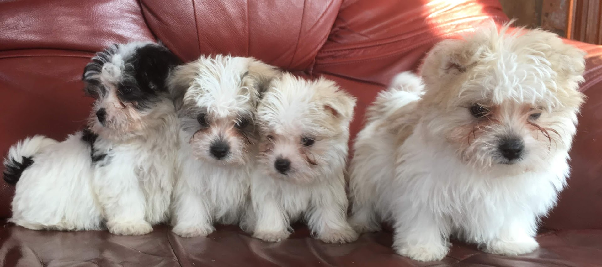 Male Morkie 8 Wk Old Pups