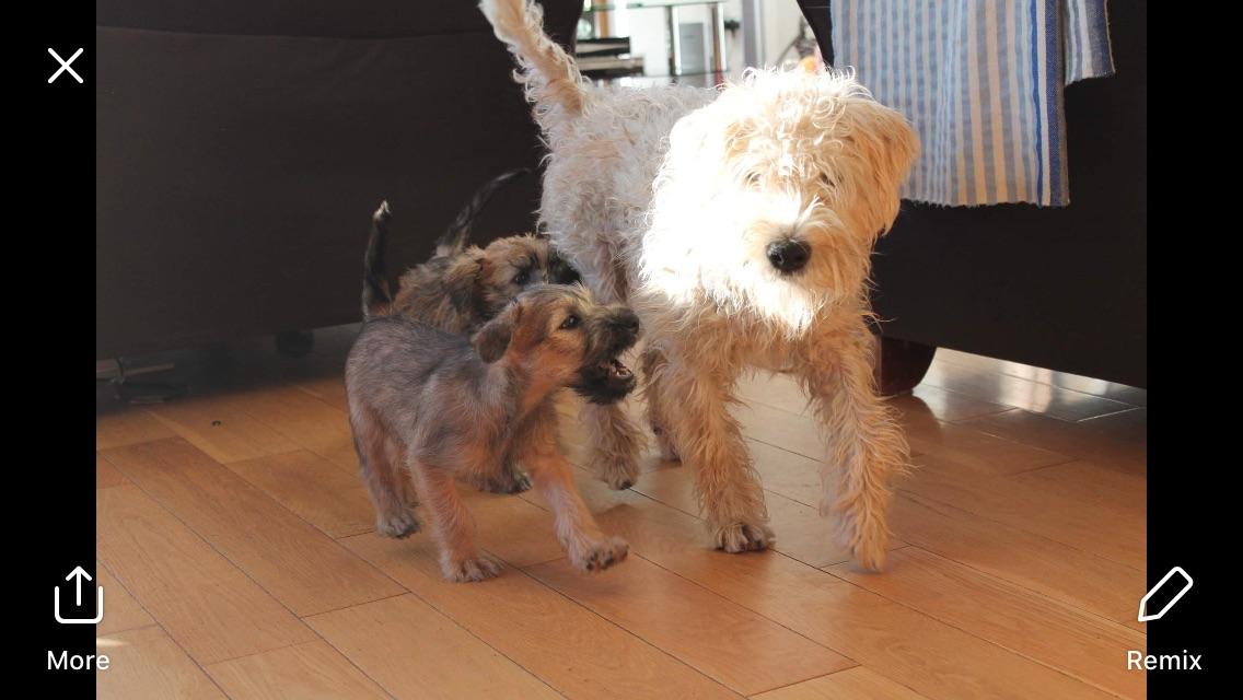 Irish Wheaten Terrier Pups