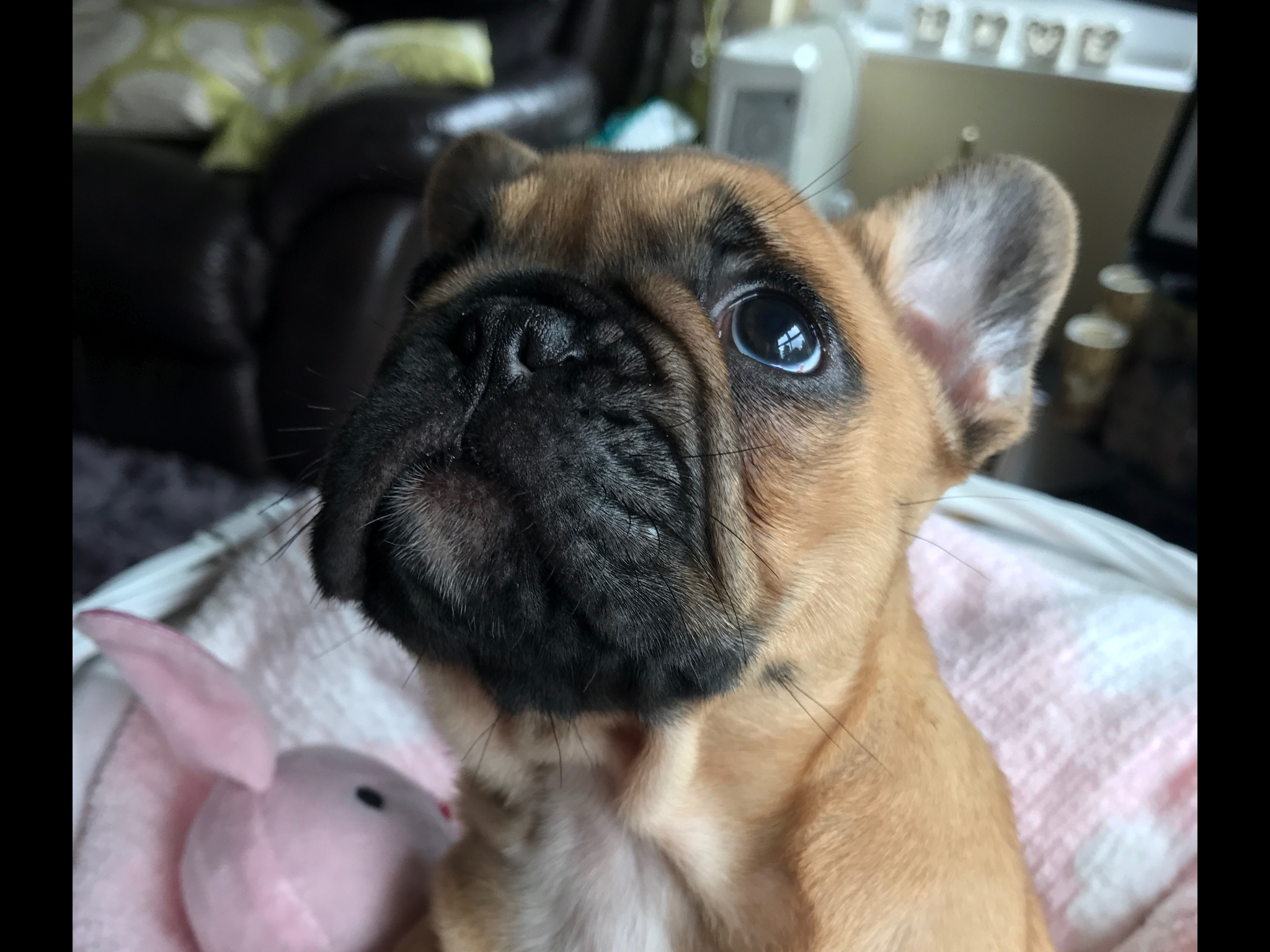 French Bulldog Puppies - Dogs For Sale in Bushmills