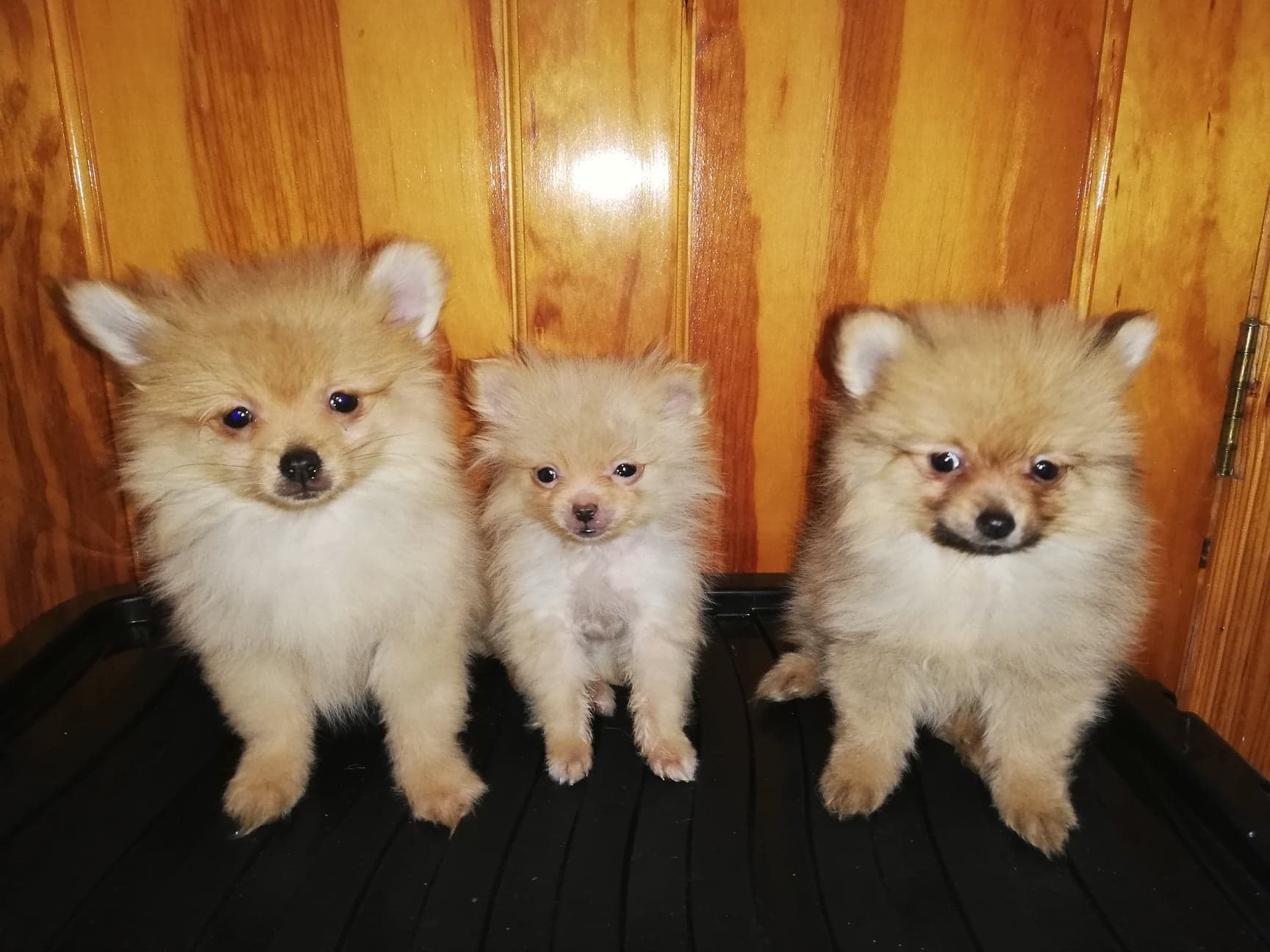 Toy Pomeranian Pups for Sale