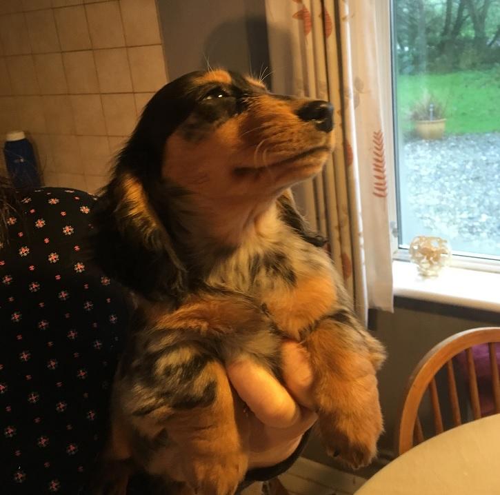 Dachshund Mini-Longhair