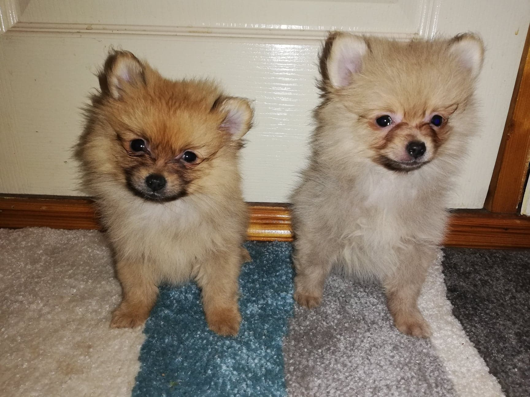 Toy Pomeranian Pups For Sale Dogs For Sale In Coleraine