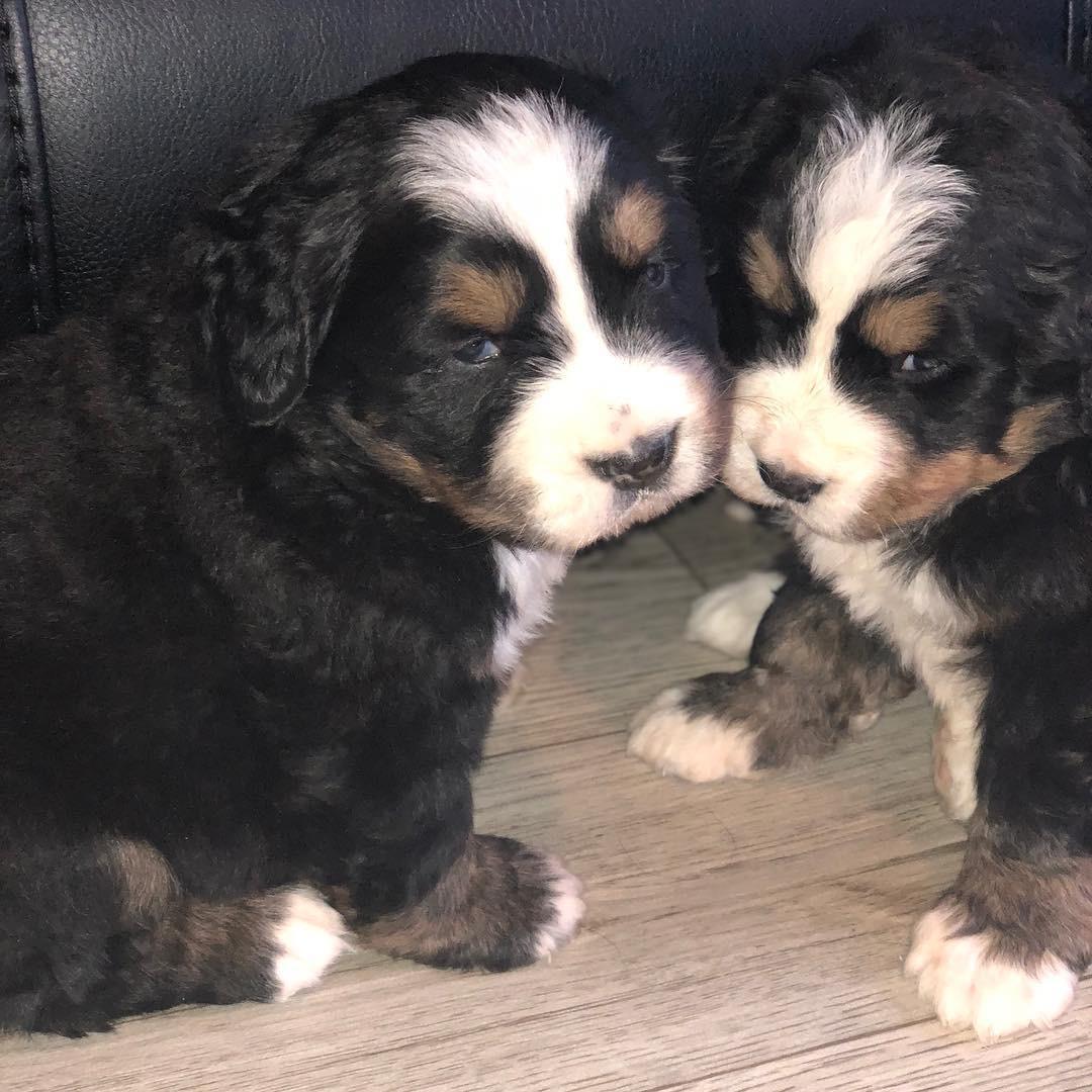 Stunning Bernese Pups