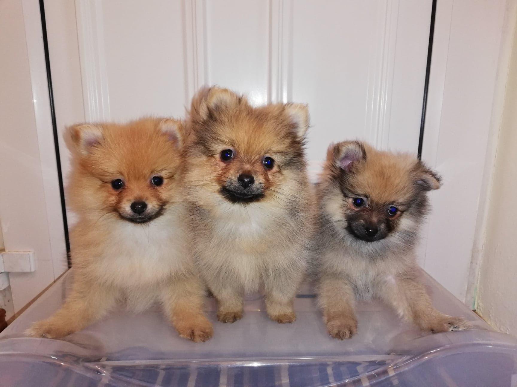 Toy Pomeranian Pups