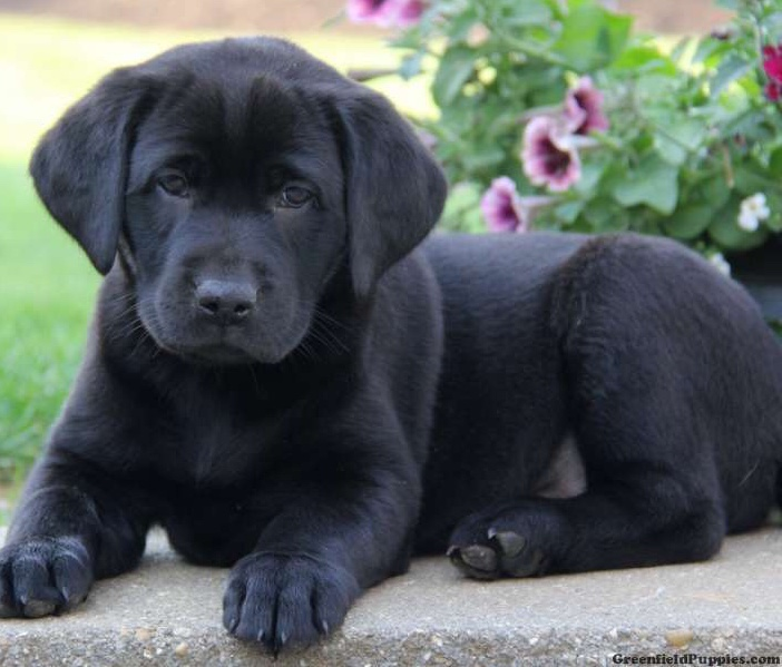 Black Labrador pups - Dogs For Sale in Doagh, Ballyclare