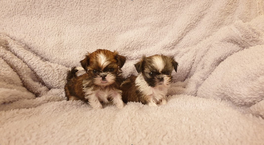 Chinese imperial pups, rare