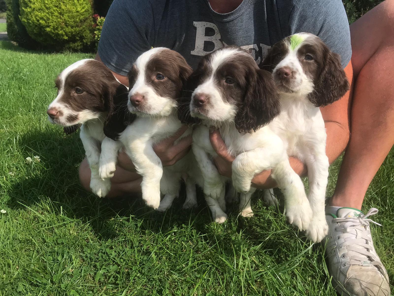Springer spaniel puppys