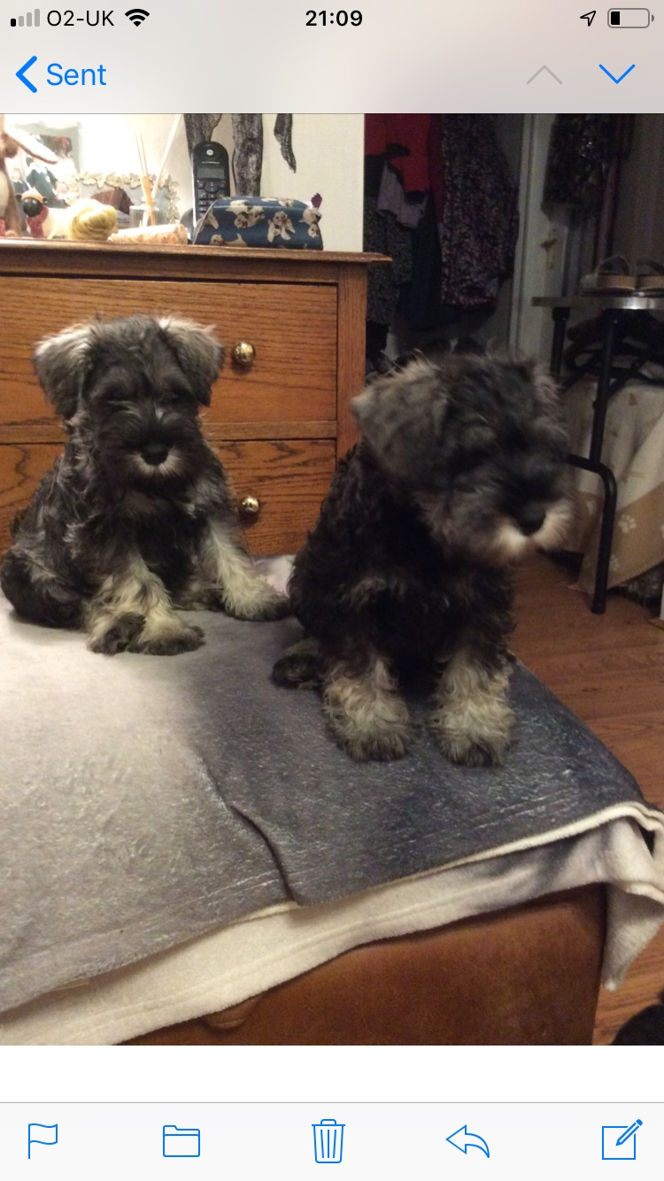 Mini Schnauzer Pups. - Dogs For Sale in Northern Ireland