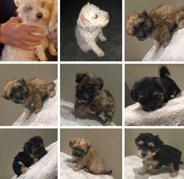 Maltese/Lakeland 8 wk old pups