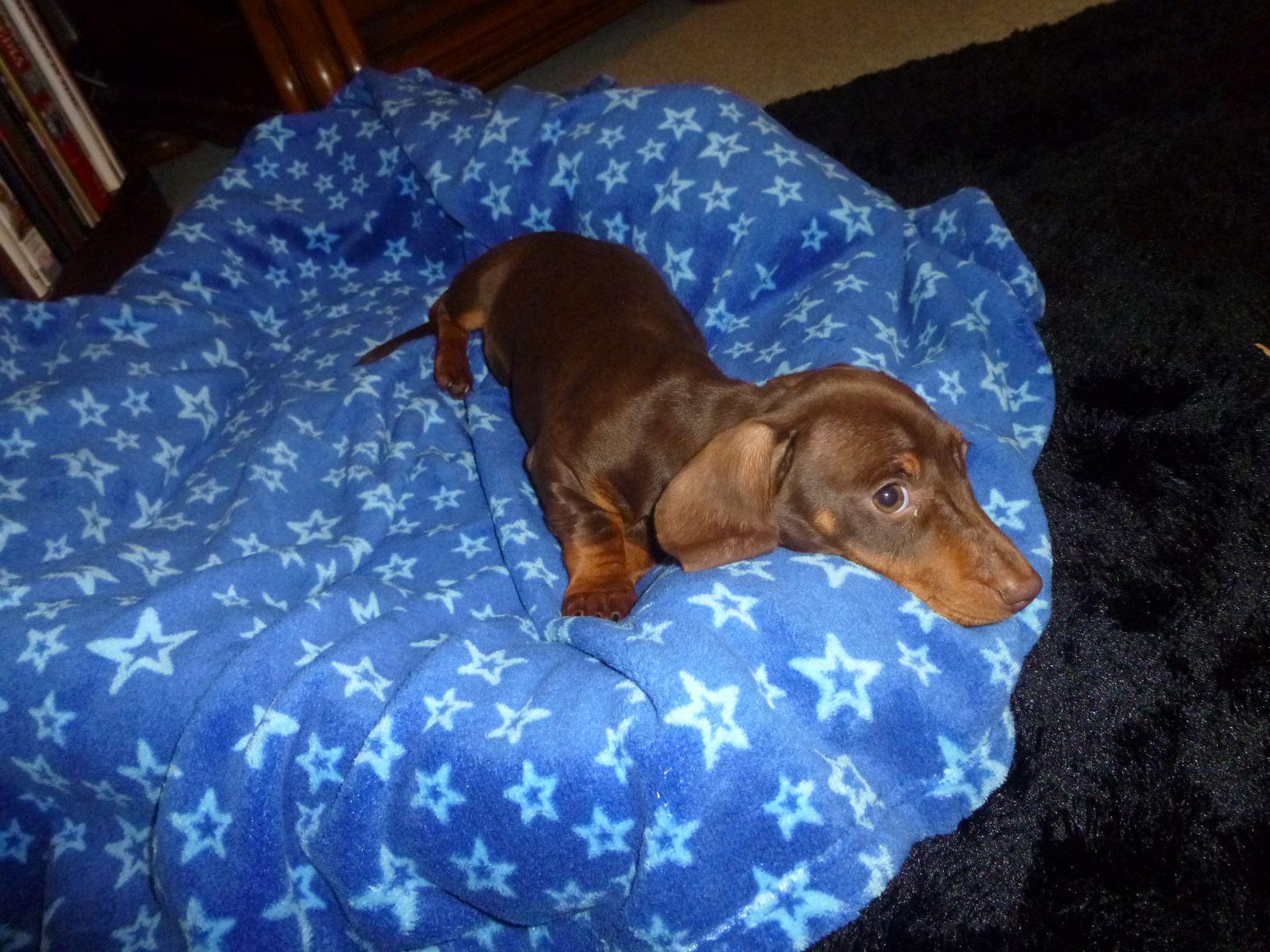 Miniature Dachshund Pup