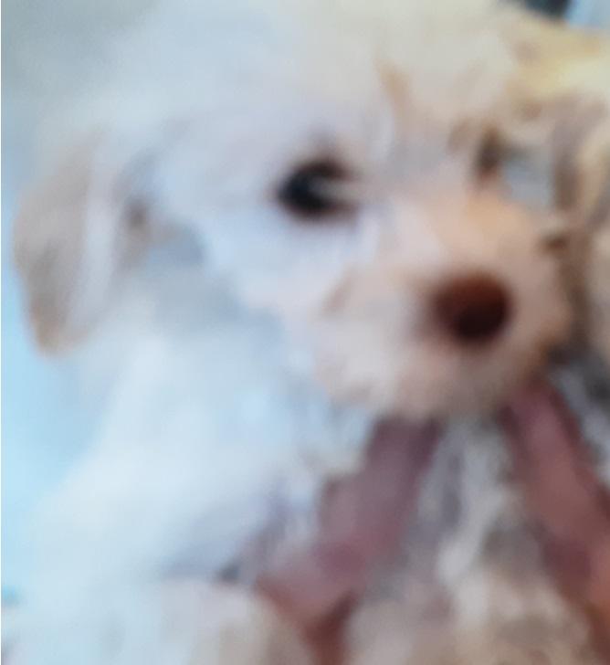 Miniature Labradoodle Pup