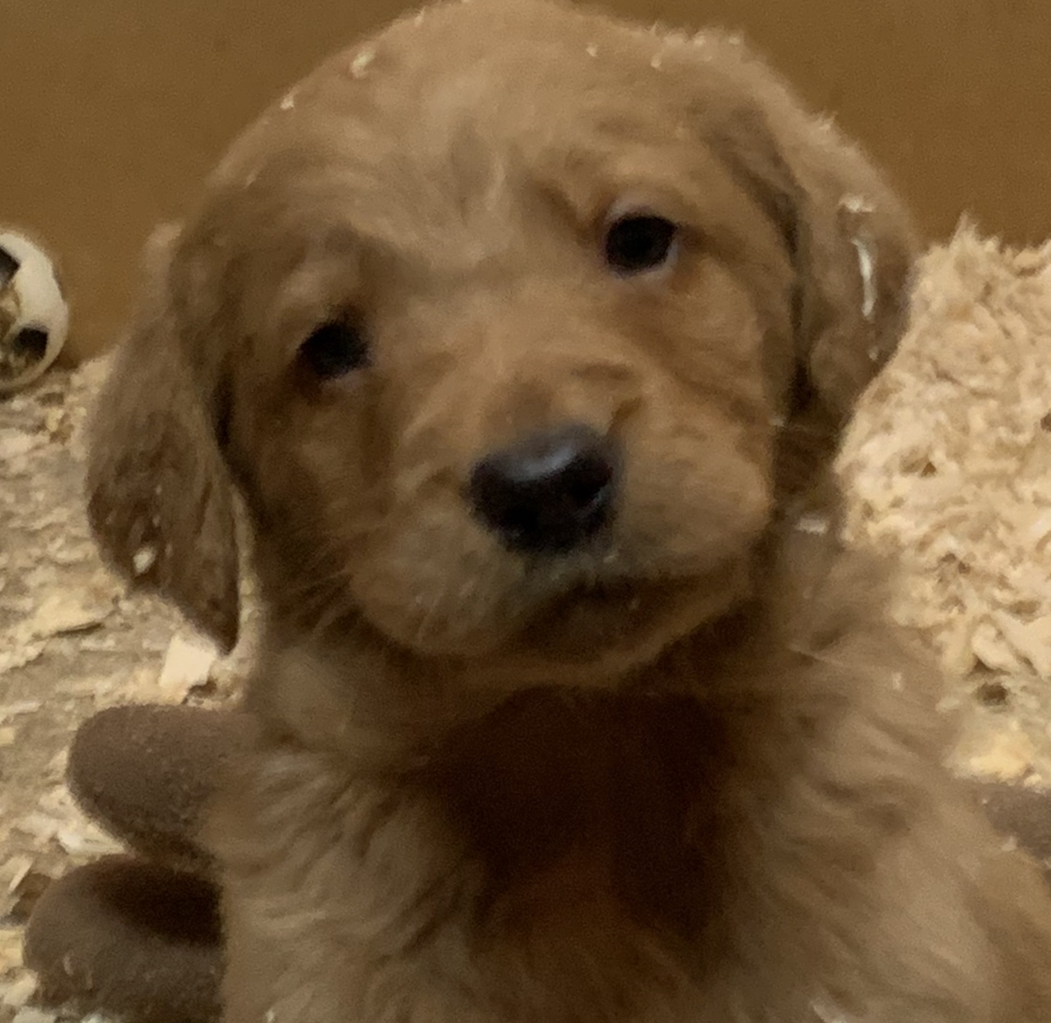 Labradoodles pups  - Dogs For Sale in Cookstown