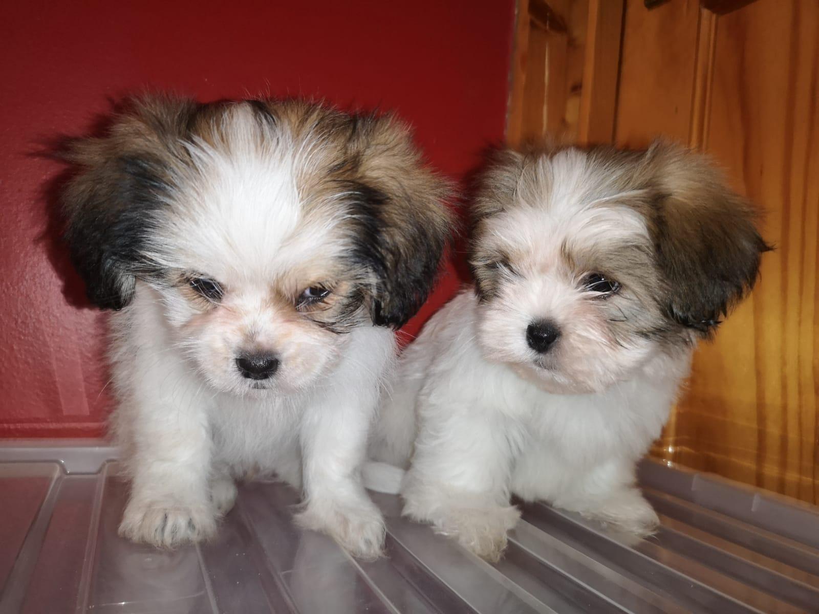 Shih Tzu Pups for Sale.  - Dogs For Sale in Coleraine