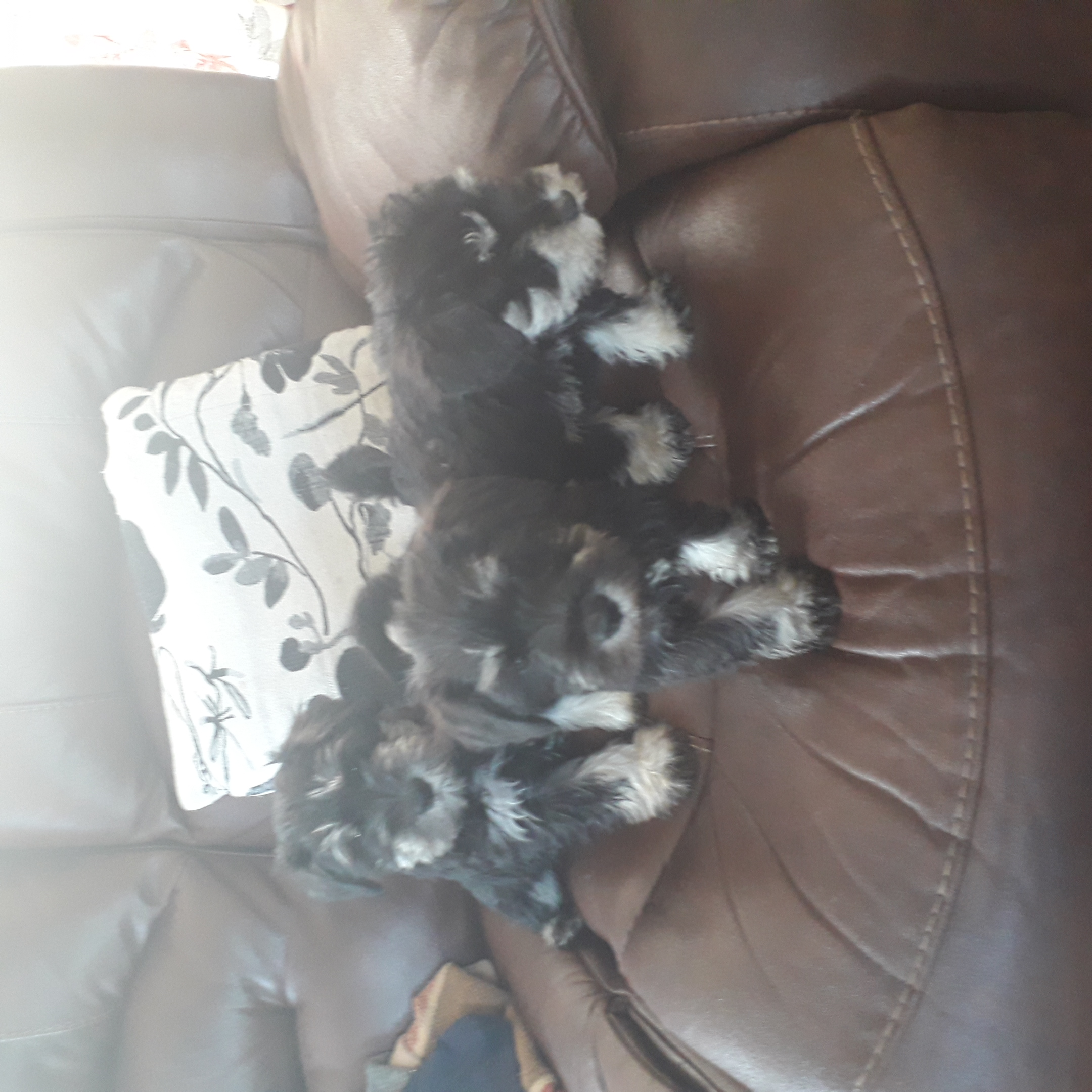 Schnauzer Pups - Dogs For Sale in Co. Tyrone