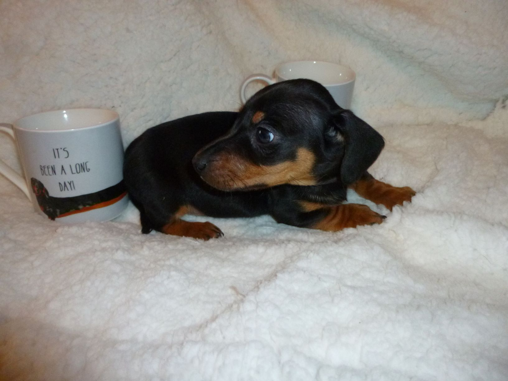 Miniature Dachshund - Dogs For Sale in Near Newry