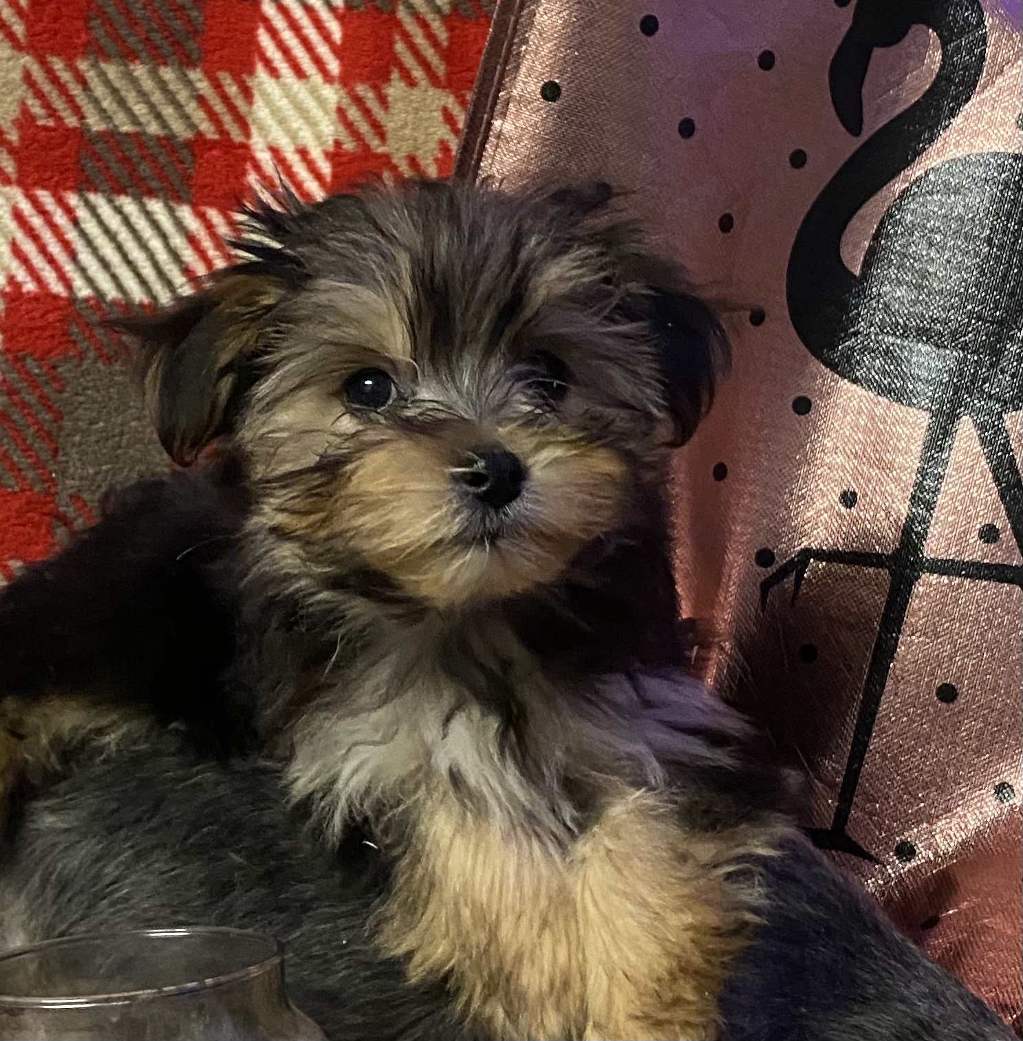 Morkie  - Dogs For Sale in Fermanagh  - Belfast Telegraph Classifieds
