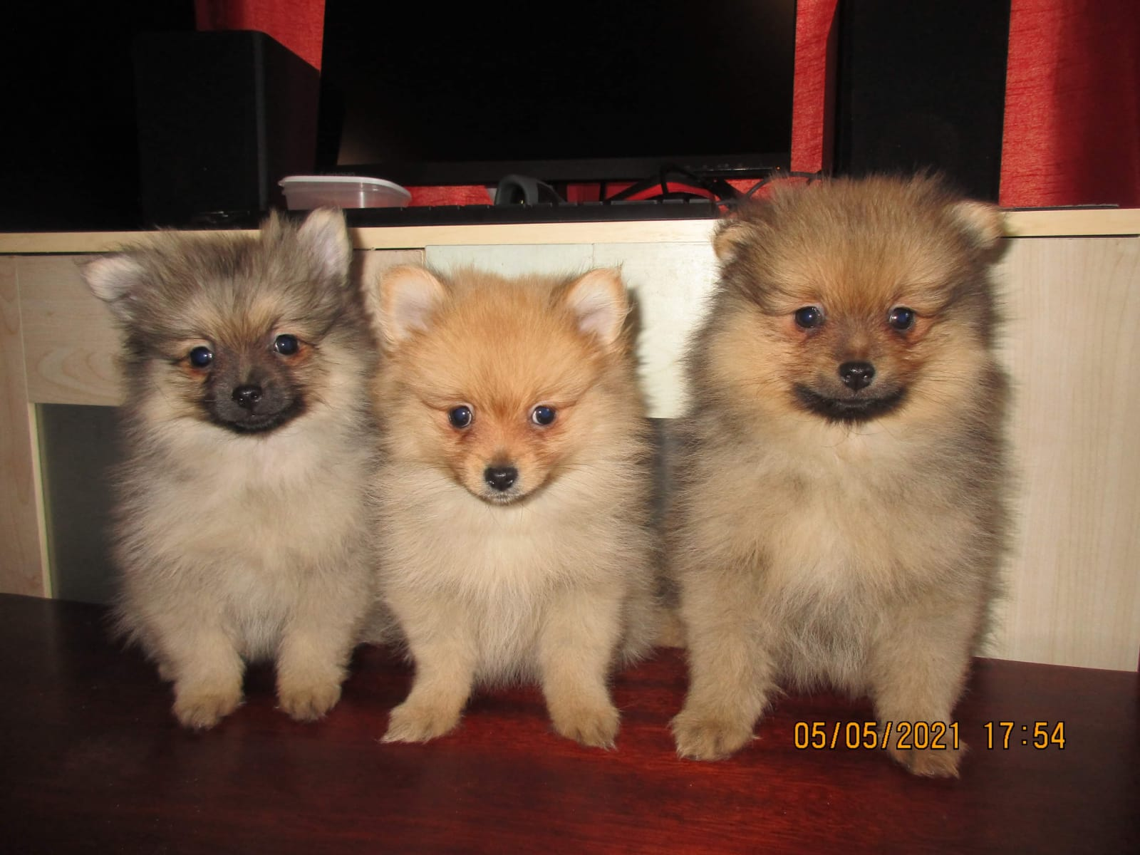 Miniature Pom Pups for sale.