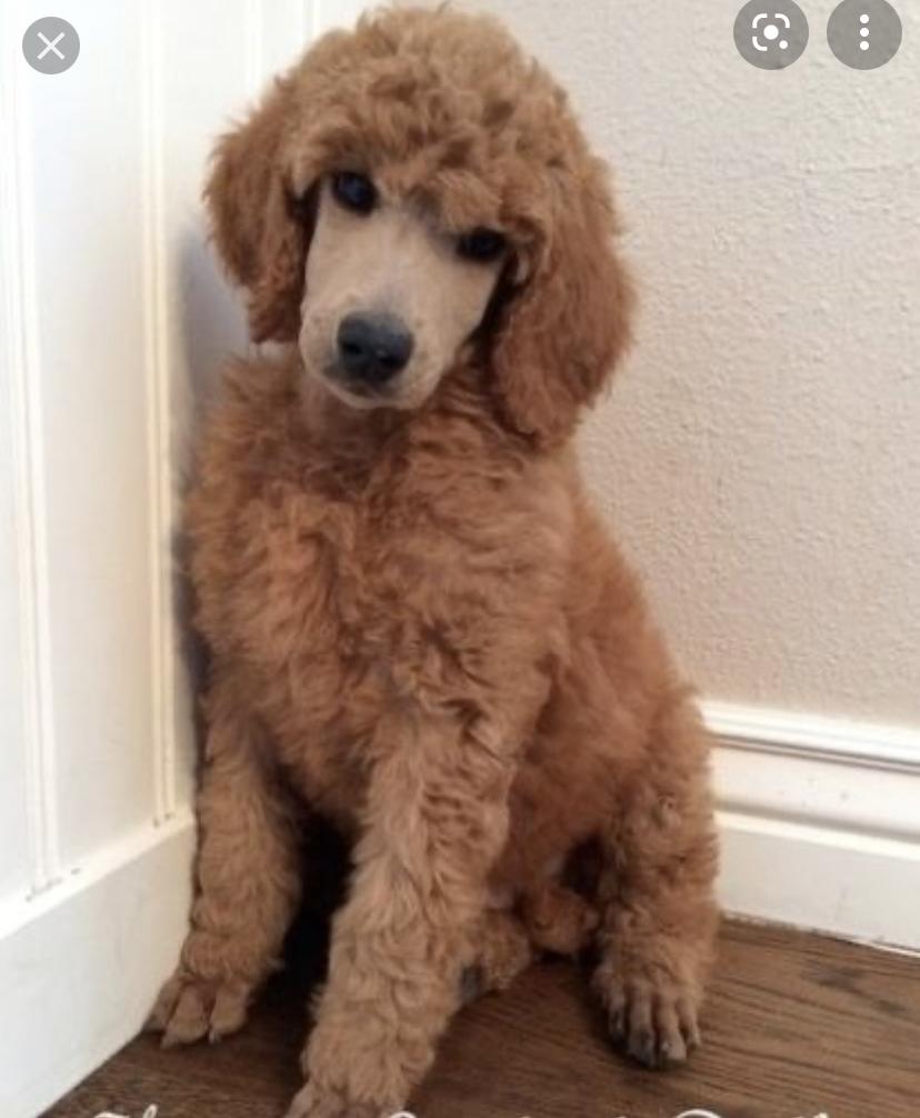 Standard poodle pups