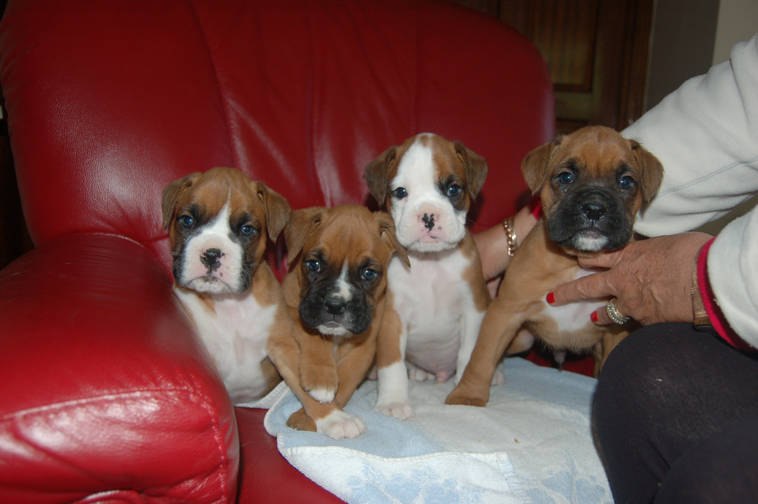 BOXER PUPS FOR SALE