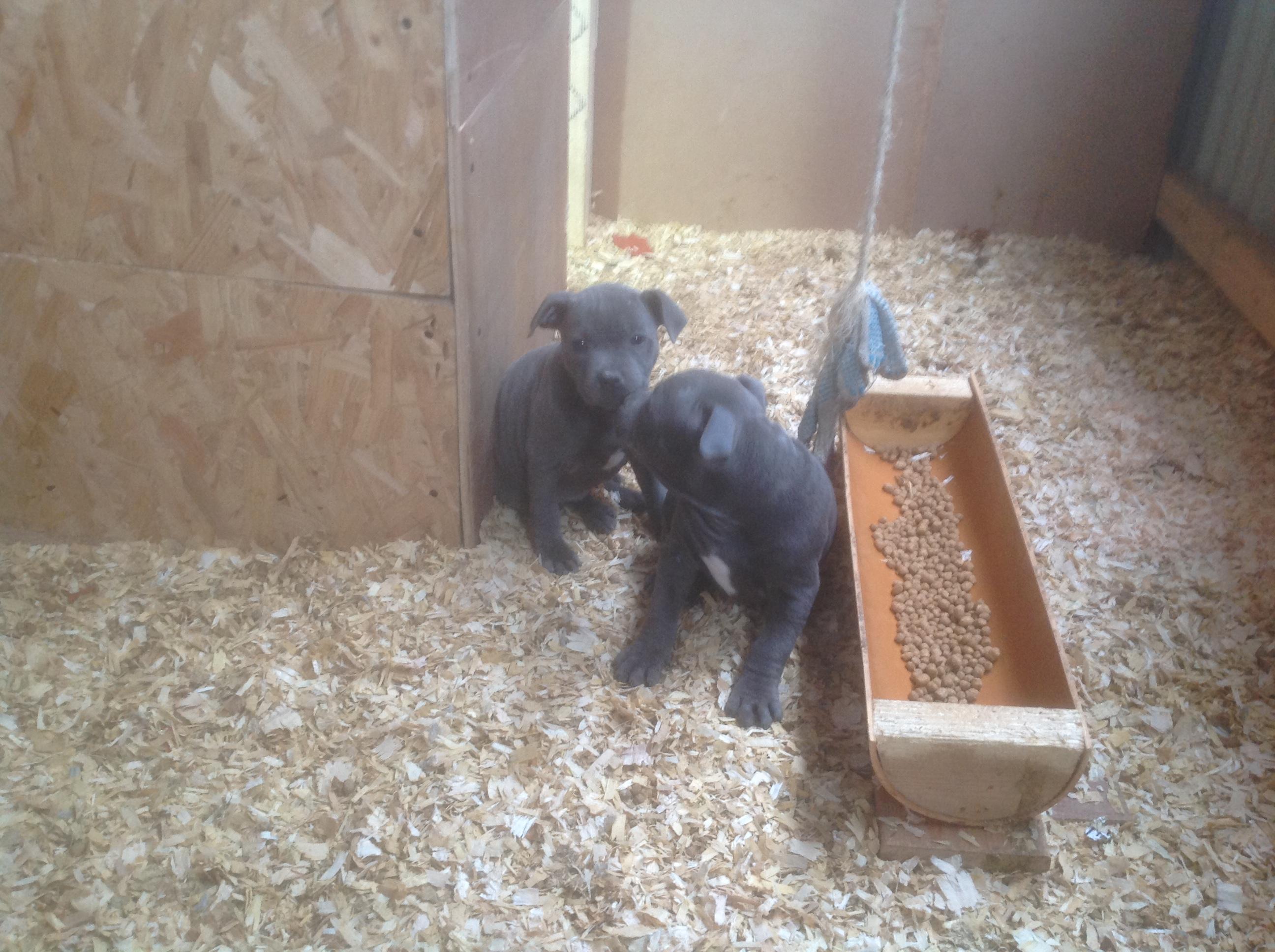 Staffordshire pups